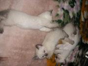 Сиамский(Невский маскарадный) котенок
