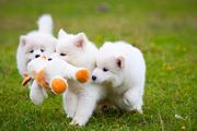 Роскошные белоснежные щенки самоеда!