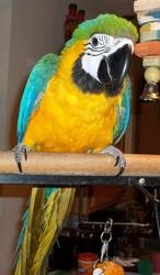 Vдома,  поднятые и зарегистрирован синих и золотых попугаи ара для прод