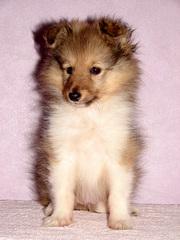 Продаётся щенок шелти