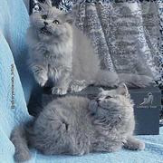 британские длинношерстные котята хайлендер