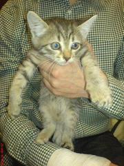 котенок отдам девочка 1, 5 месяца