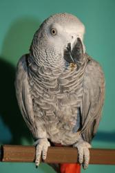 попугая жако